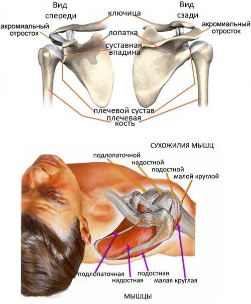 Структура плечевого сустава
