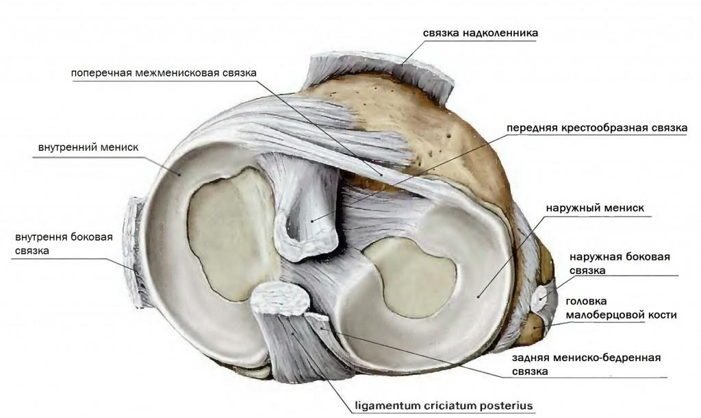 структура колена