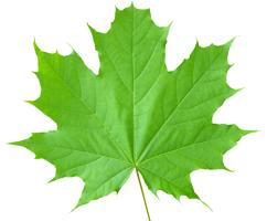 Кленовые листья от боли в суставах