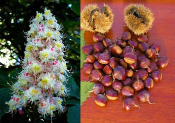 Плоды и цветки каштана