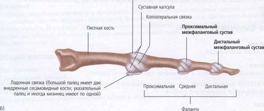 Пястно-фаланговые суставы