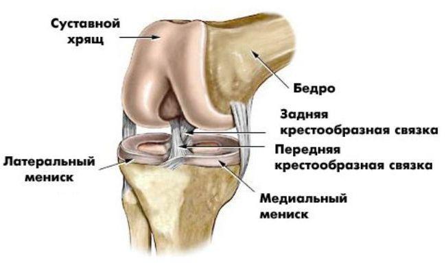 Изображение - Особенности строения коленного сустава zhrniksofija_11-03-2017-18-50_kolennyj_sustav