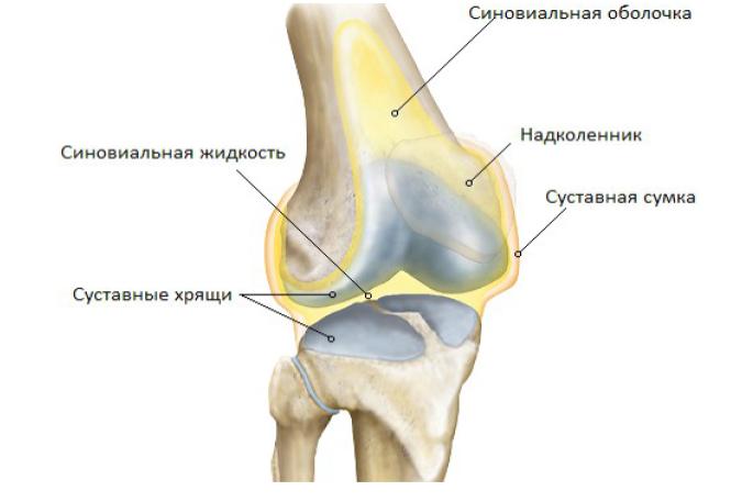Анатомическое строение коленного сустава человека