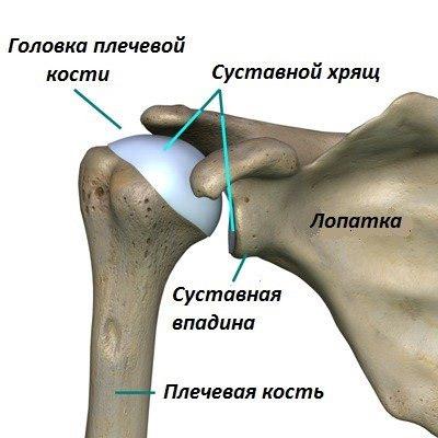 Изображение - Состав плечевого сустава articulatio-humeri