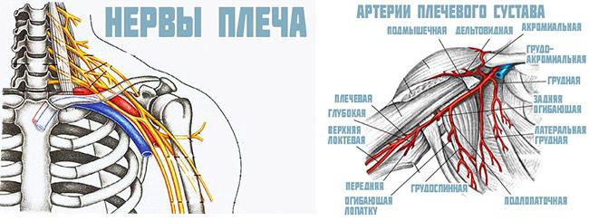 Изображение - Состав плечевого сустава innervaciya-i-krovosnabzhenie