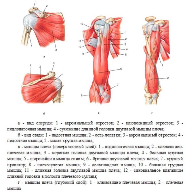 Мышцы, обеспечивающие движения