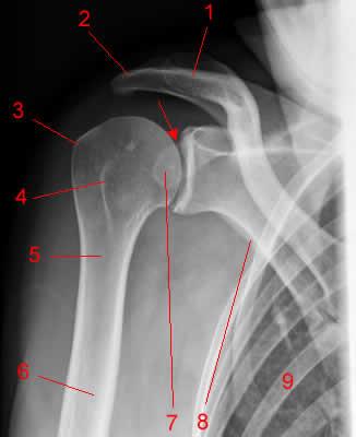 Изображение - Состав плечевого сустава rentgenanatomiya-plechevogo-sustava