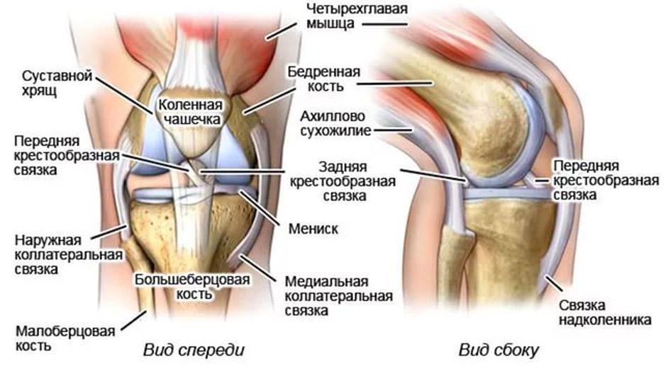 Строение и функции коленного сустава