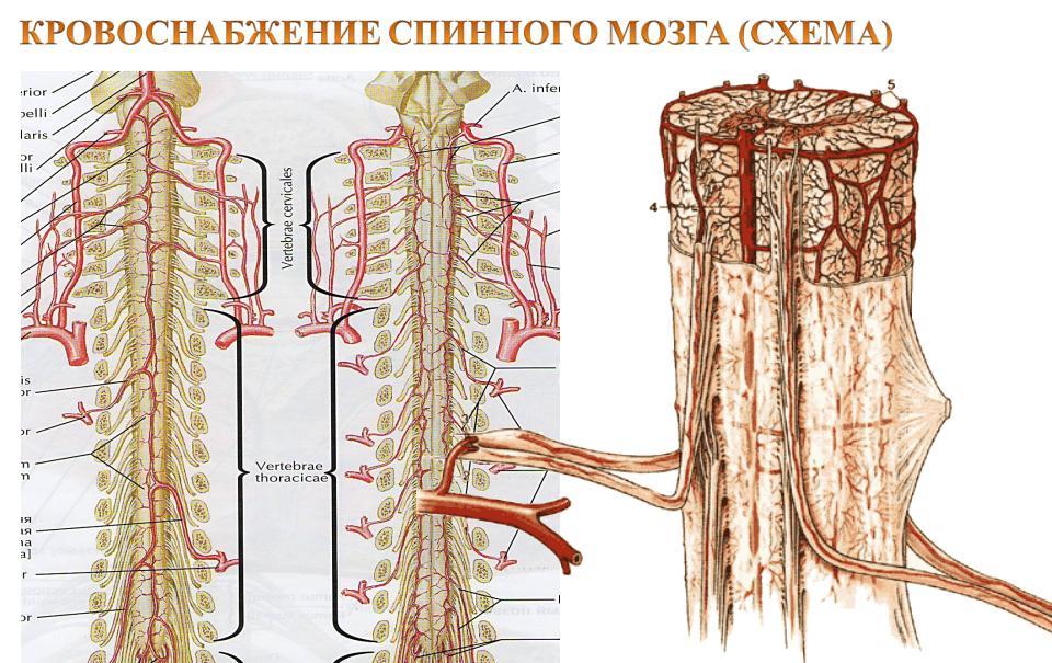 Схема кровоснабжения спинного мозга